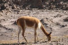 vigogne